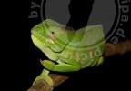 Furcifer timoni