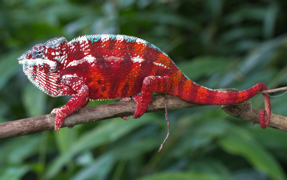 Furcifer pardalis in Vohimana