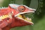 Furcifer pardalis, Ankaramibe