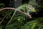 Furcifer pardalis, Djangoa
