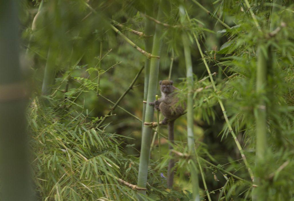 Bambuslemuren