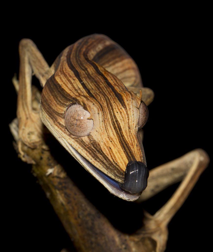 Uroplatus lineatus