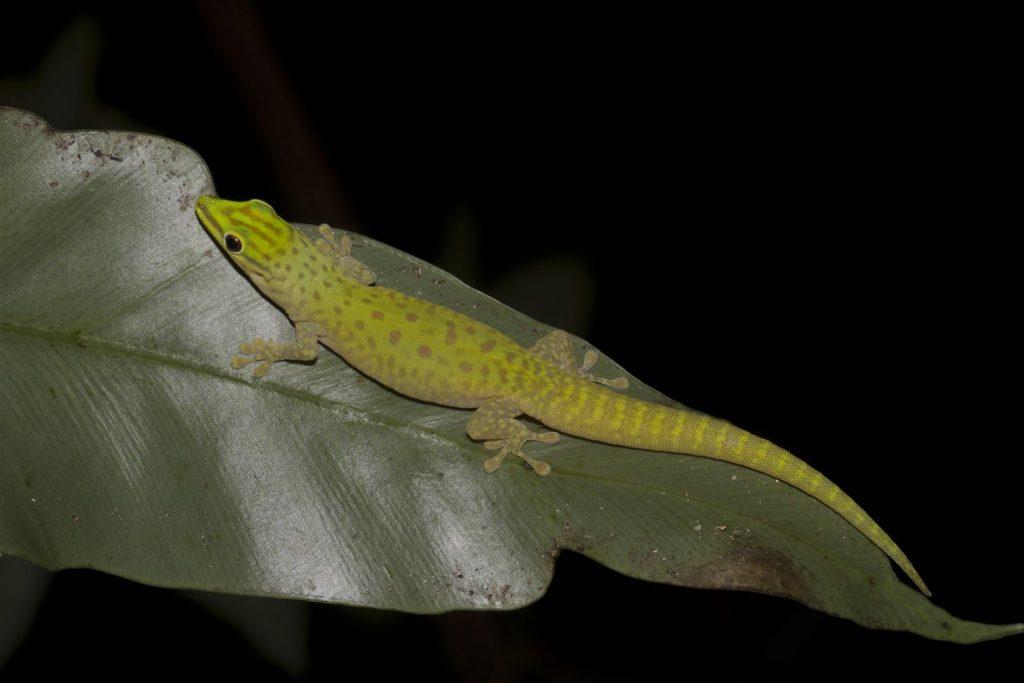 Phelsuma