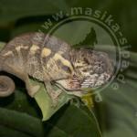 Furcifer pardalis, Sambava