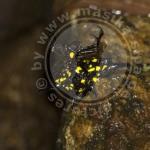 Gasteracantha versicolor