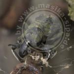 Käfer, Marojejy