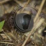 Sphaerotheriidae ssp.