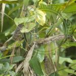 Furcifer pardalis, Marojejy