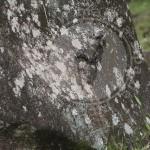 Uroplatus giganteus, Marojejy