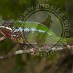 Furcifer pardalis, Nosy Mangabe