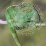 Calumma parsonii parsonii