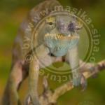 Furcifer bifidus