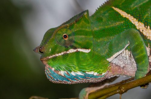 Furcifer balteatus