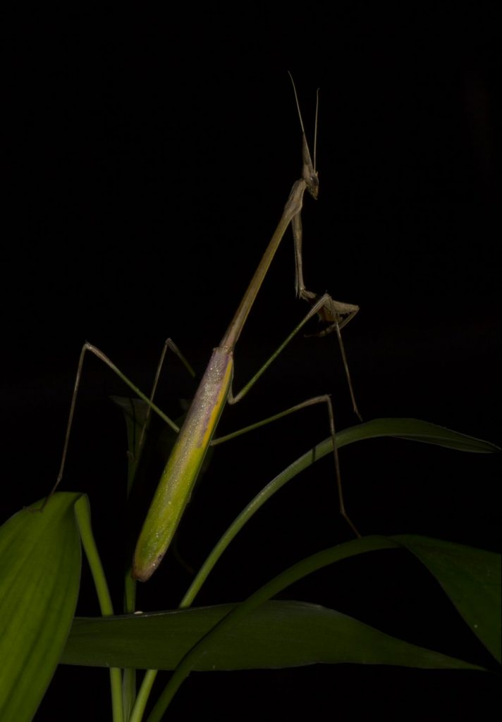 Idolomorpha madagascariensis