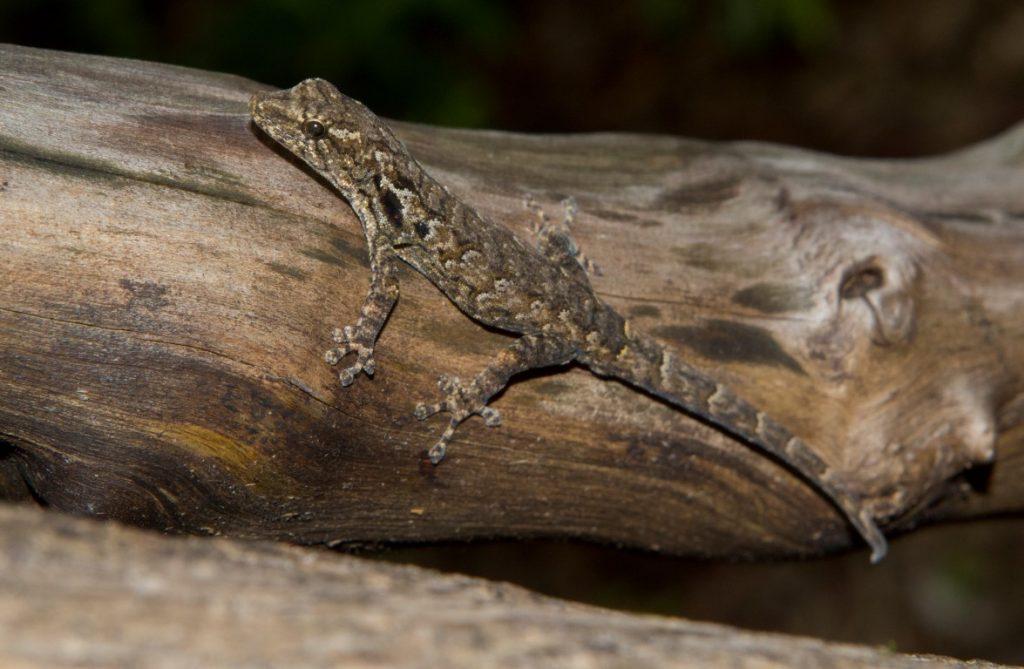 Lygodactylus