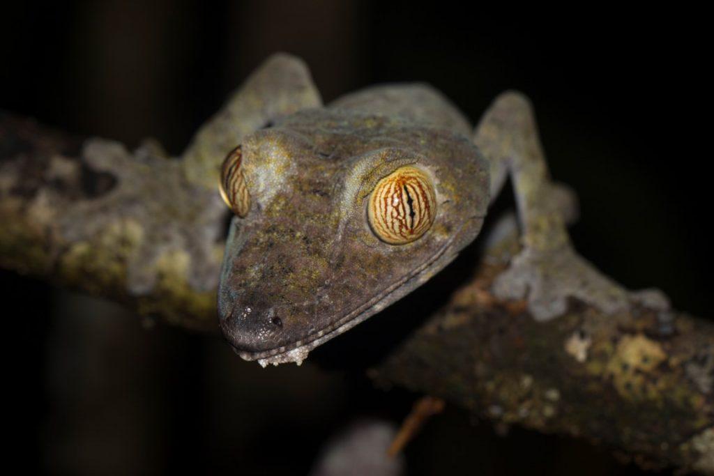Uroplatus fimbriatus