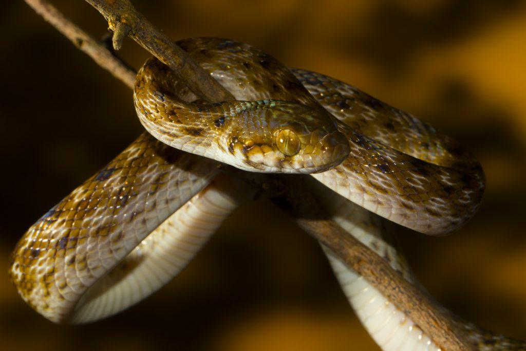 Madagascarophis colubrinus