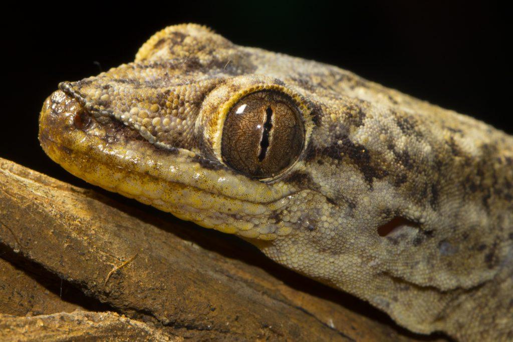 Blaeodactylus