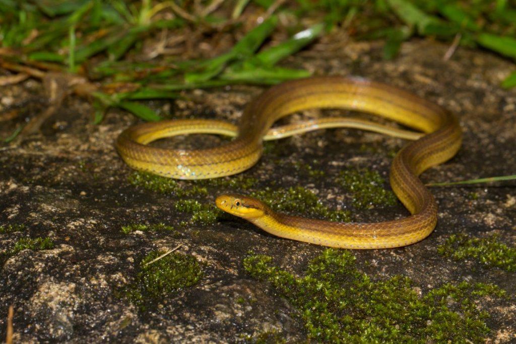 Compsophis laphystius