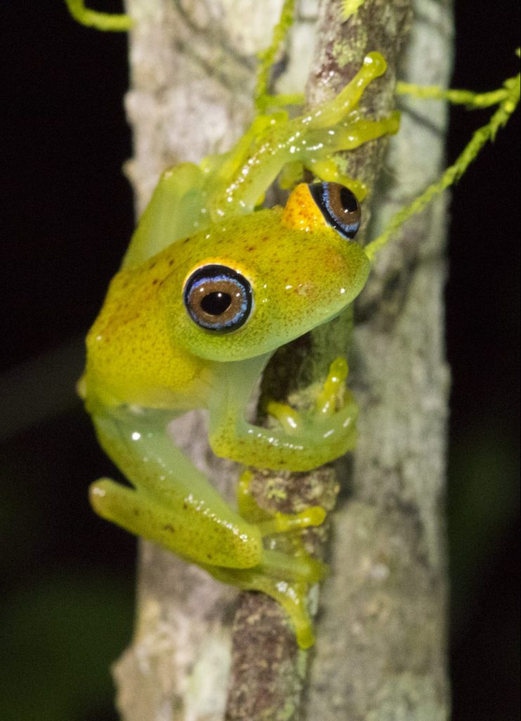 Boophis