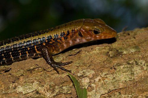 Zonosaurus laticaudatus