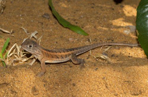 Chalarodon madagascariensis