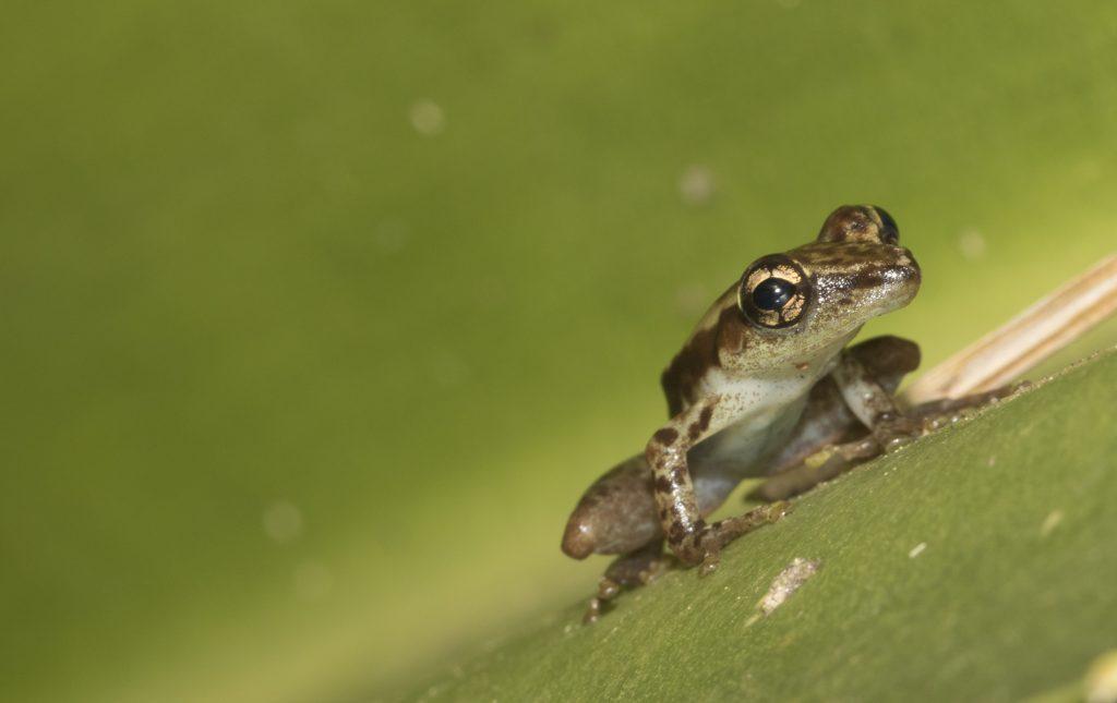 Frosch in Analamazaotra