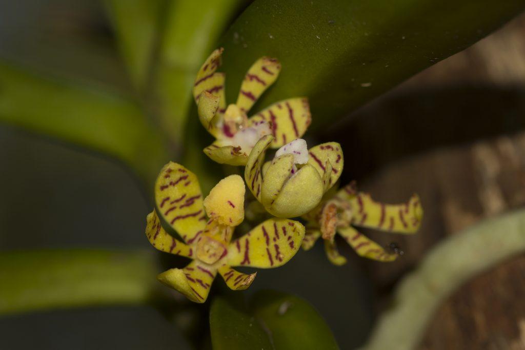 Orchidee in Ankarana