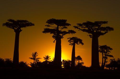Baobab-Allee