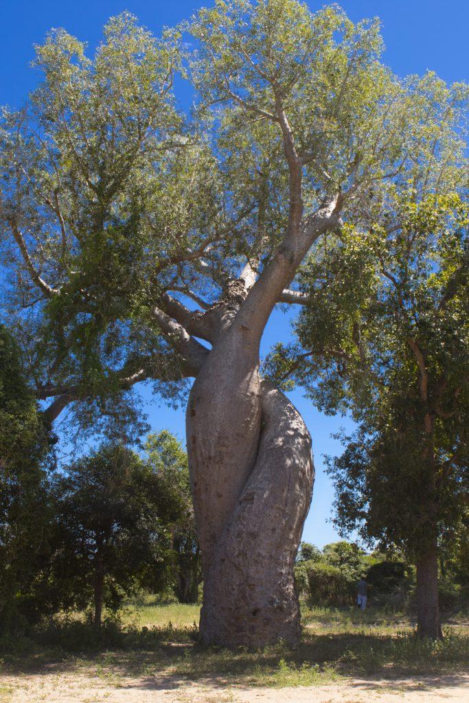 Baobab of love