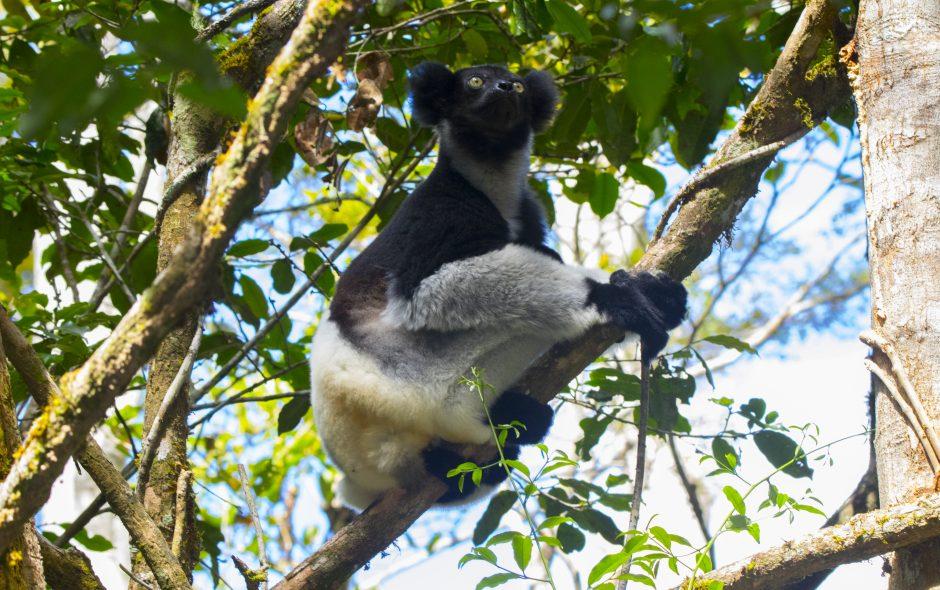 Der Ruf der Indris