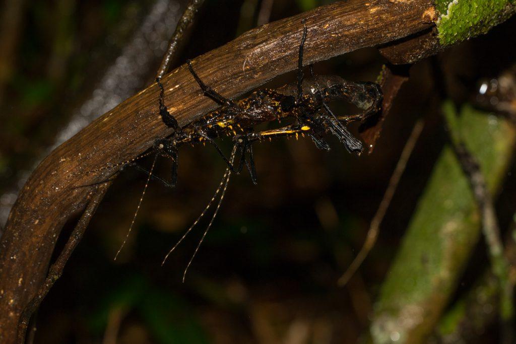 Parectatosoma hystrix