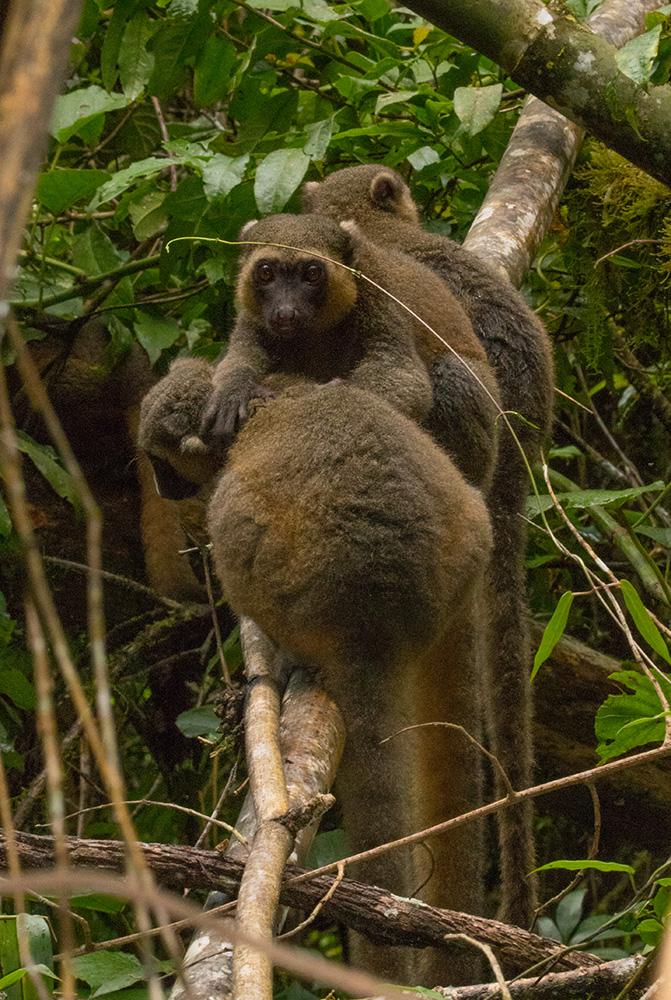 Bambuslemur