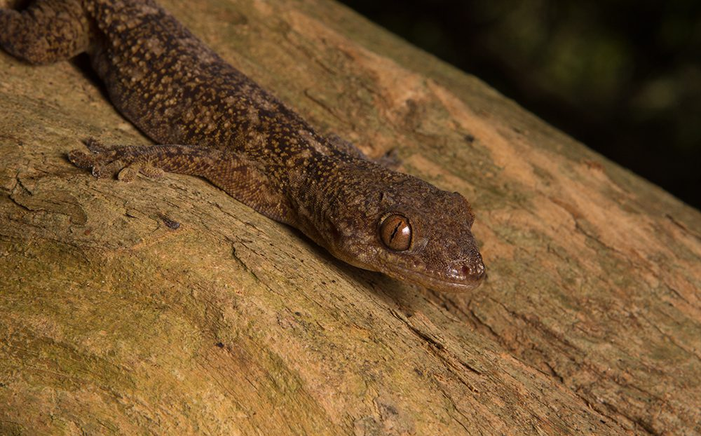 Blaesodactylus ambonihazo